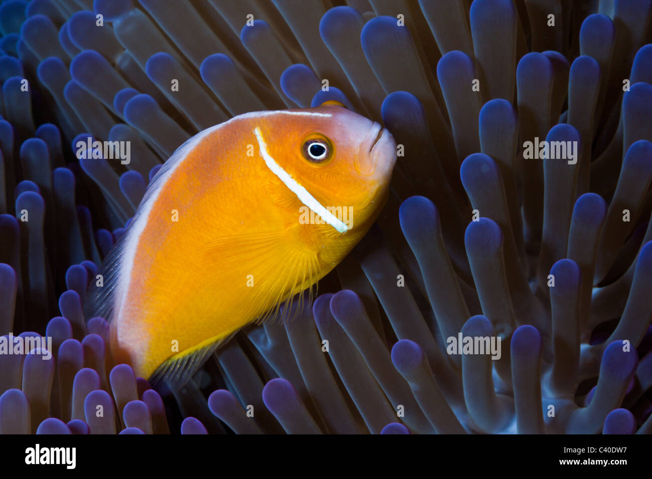 Pink Anemonefish, Amphiprion perideraion, Gau, Lomaiviti, Fiji - Stock Image