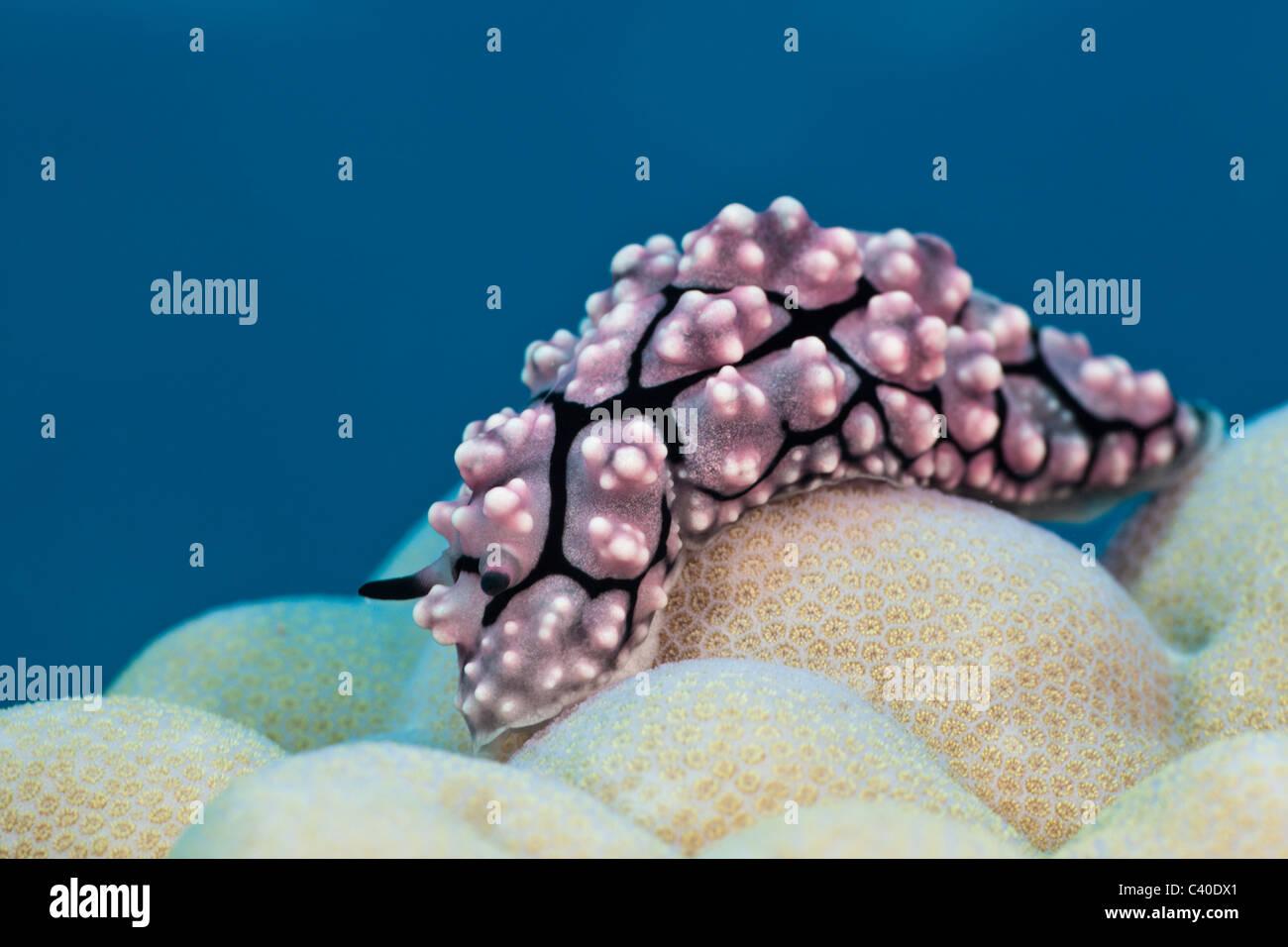 Dwarty Sea Slug on Coral, Phyllidiopsis krempfi, Gau, Lomaiviti, Fiji - Stock Image