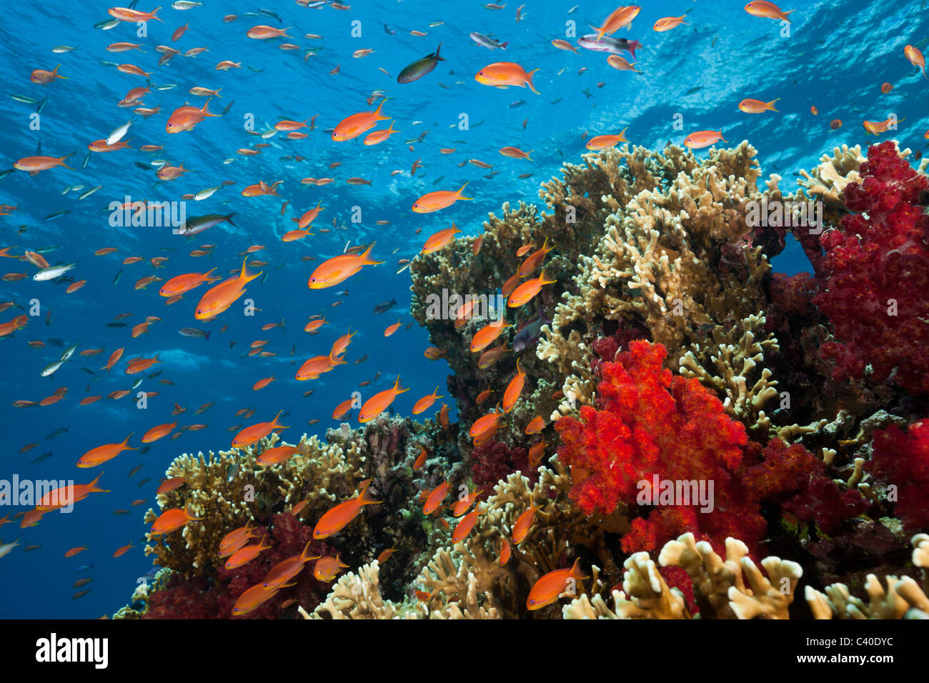 Lyretail Anthias in Coral Reef, Pseudanthias squamipinnis, Gau, Lomaiviti, Fiji Stock Photo