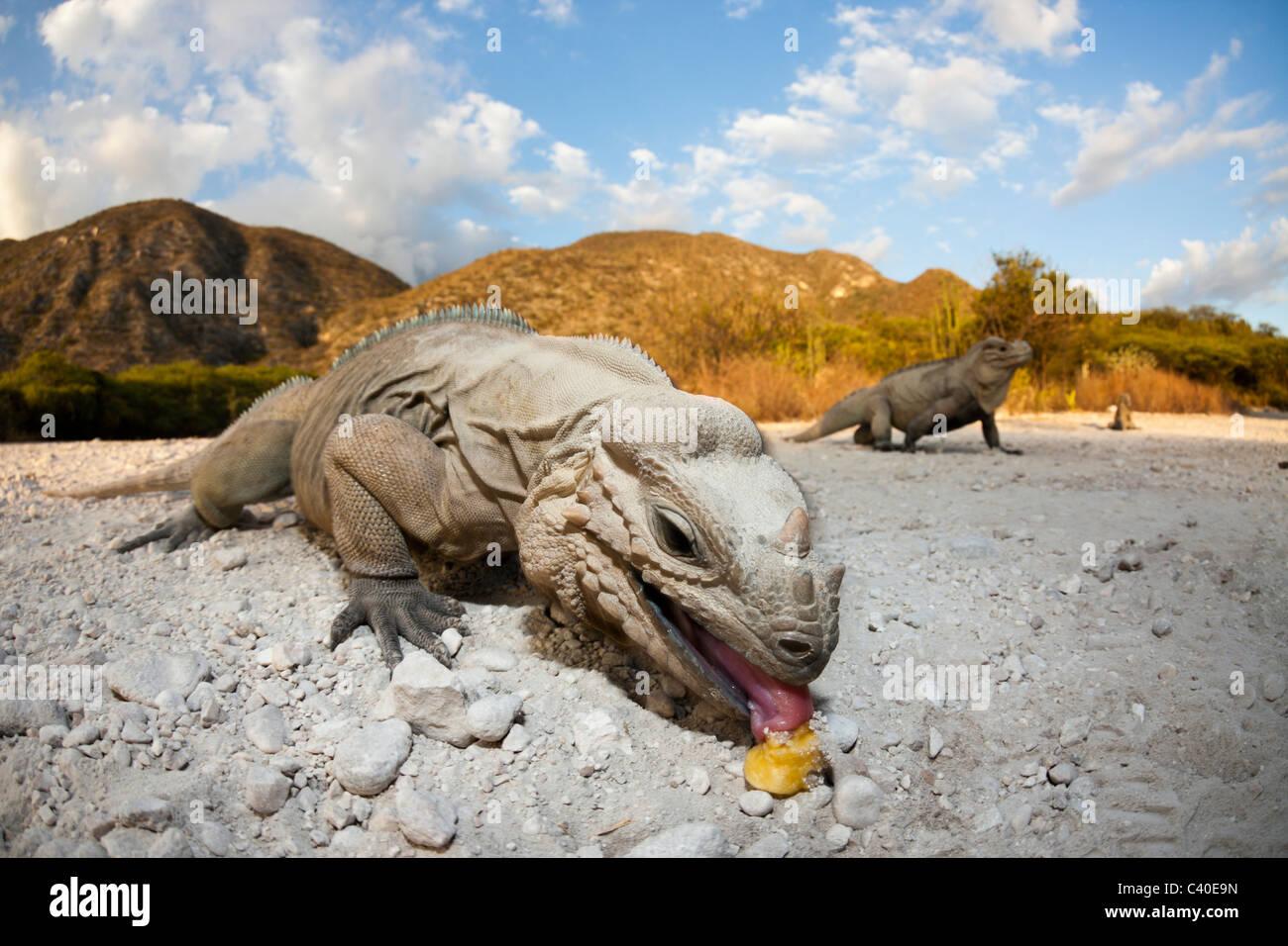 Rhinoceros Iguana, Cyclura cornuta, Isla Cabritos National Park, Lago Enriquillo, Dominican Republic - Stock Image