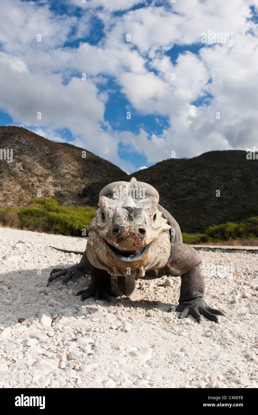 Rhinoceros Iguana, Cyclura cornuta, Isla Cabritos National Park, Lago Enriquillo, Dominican Republic Stock Photo
