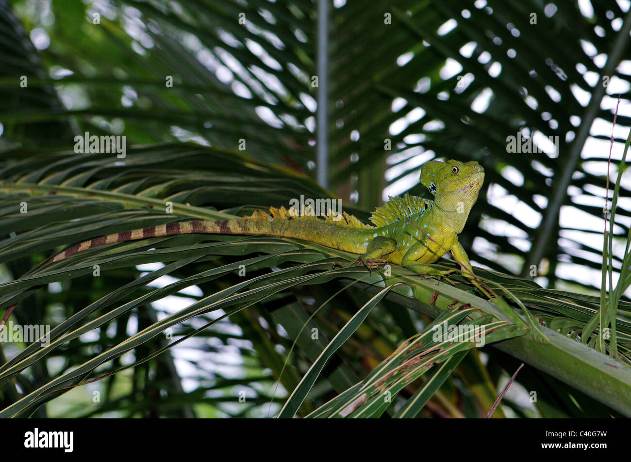 lizard, lizards, basilisc, plumed basilisc, Jesus Christ lizard, Basiliscus plumifrons, reptile, reptiles, scale, Stock Photo