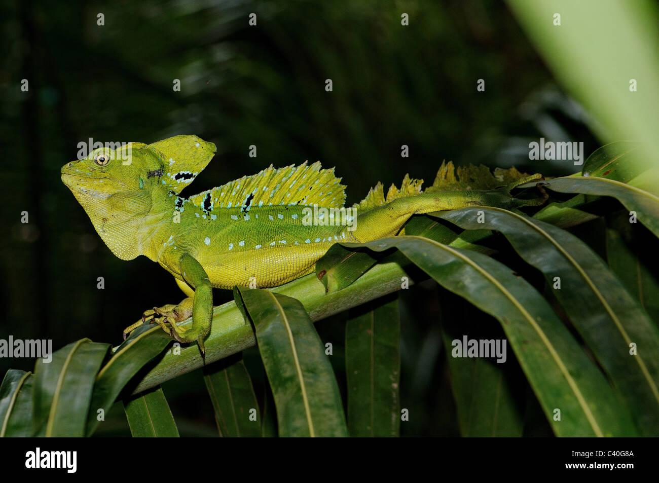 lizard, lizards, basilisc, plumed basilisc, Jesus Christ lizard, Basiliscus plumifrons, reptile, reptiles, scale, - Stock Image