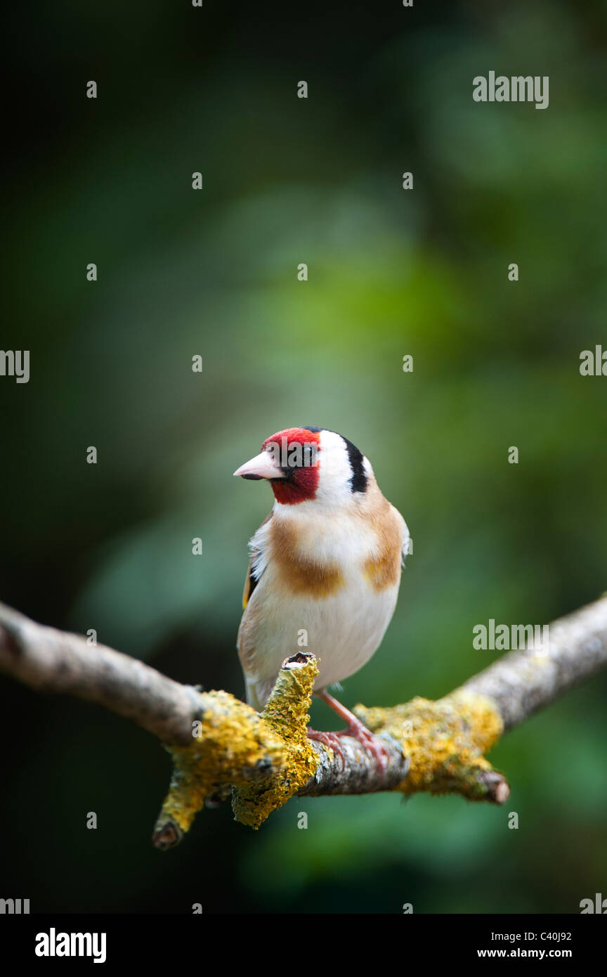 Goldfinch in a garden on an old tree branch in spring. UK - Stock Image