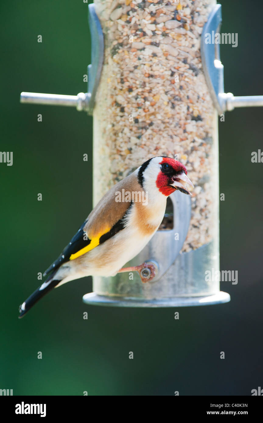 Goldfinch on bird seed feeder in spring. UK - Stock Image