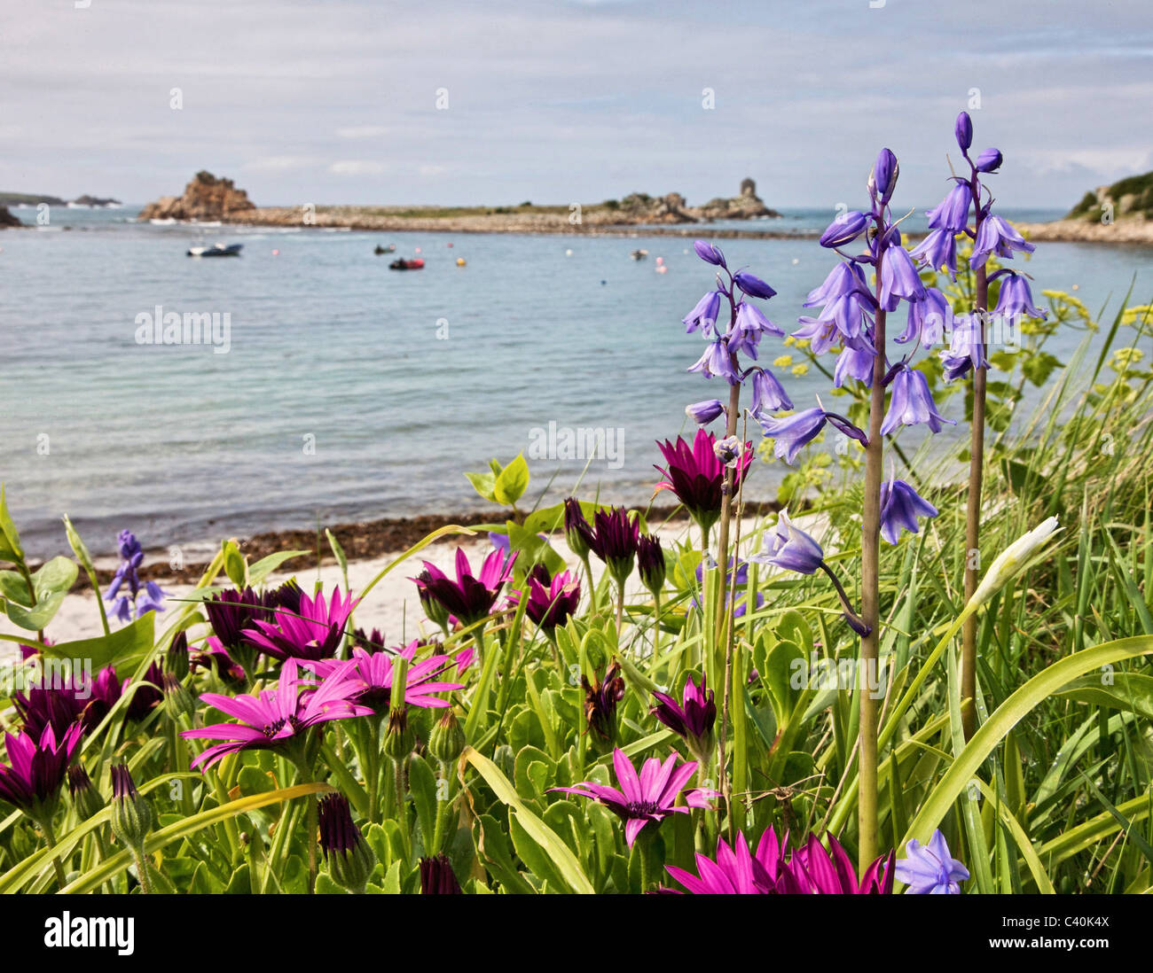 Spanish bluebells and South African daisies by Periglis beach on St Agnes in the Isles of Scilly - Stock Image