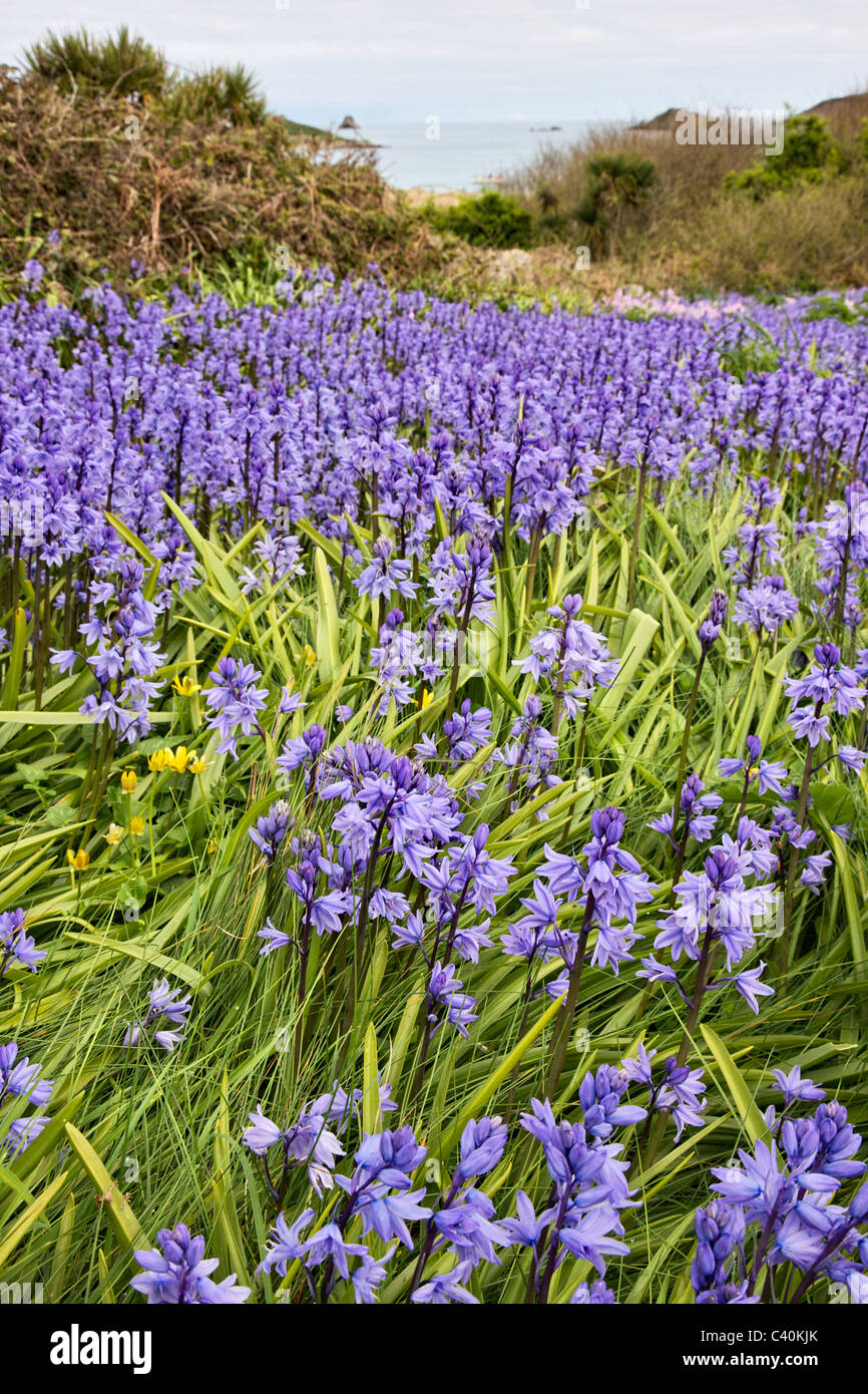 Spanish Bluebell Endymion hispanicus growing on cliff top bulb fields on St Martin's in the Isles of Scilly - Stock Image