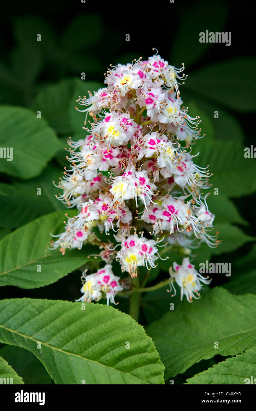 Colourful flower spike and leaves of Horse Chestnut tree Aesculus hippocastanum in spring - Stock Image