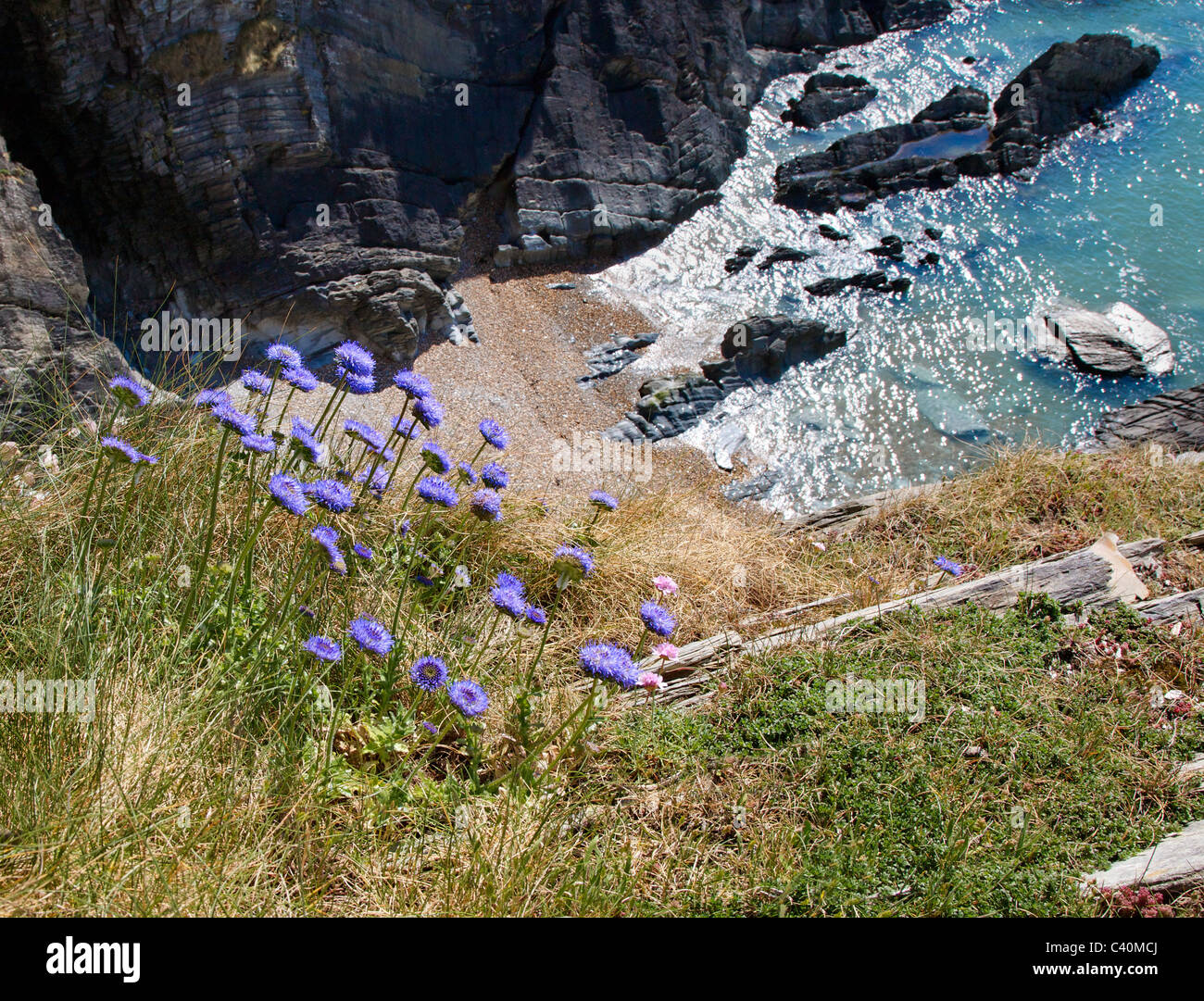 Sheep's Bit Jasione montana in typical maritime habitat on a steep cliff edge on the north Devon coast - Stock Image