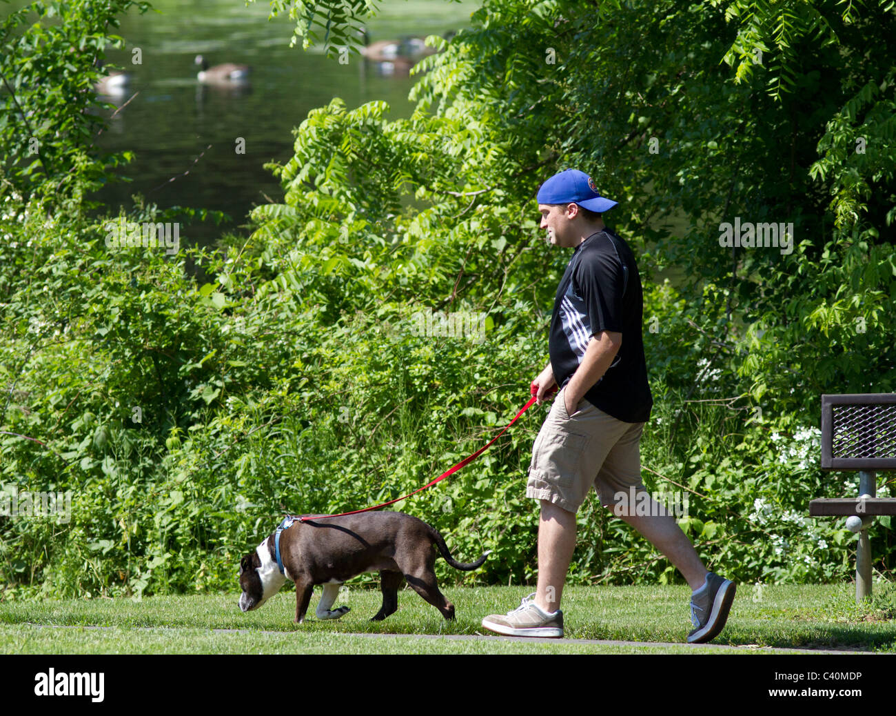 A man walking his dog in the park next to a pond. - Stock Image