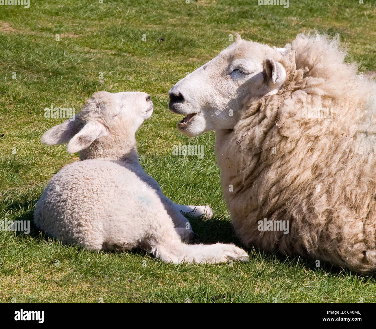 White faced ewe talking to her lamb in spring sunshine Stock Photo