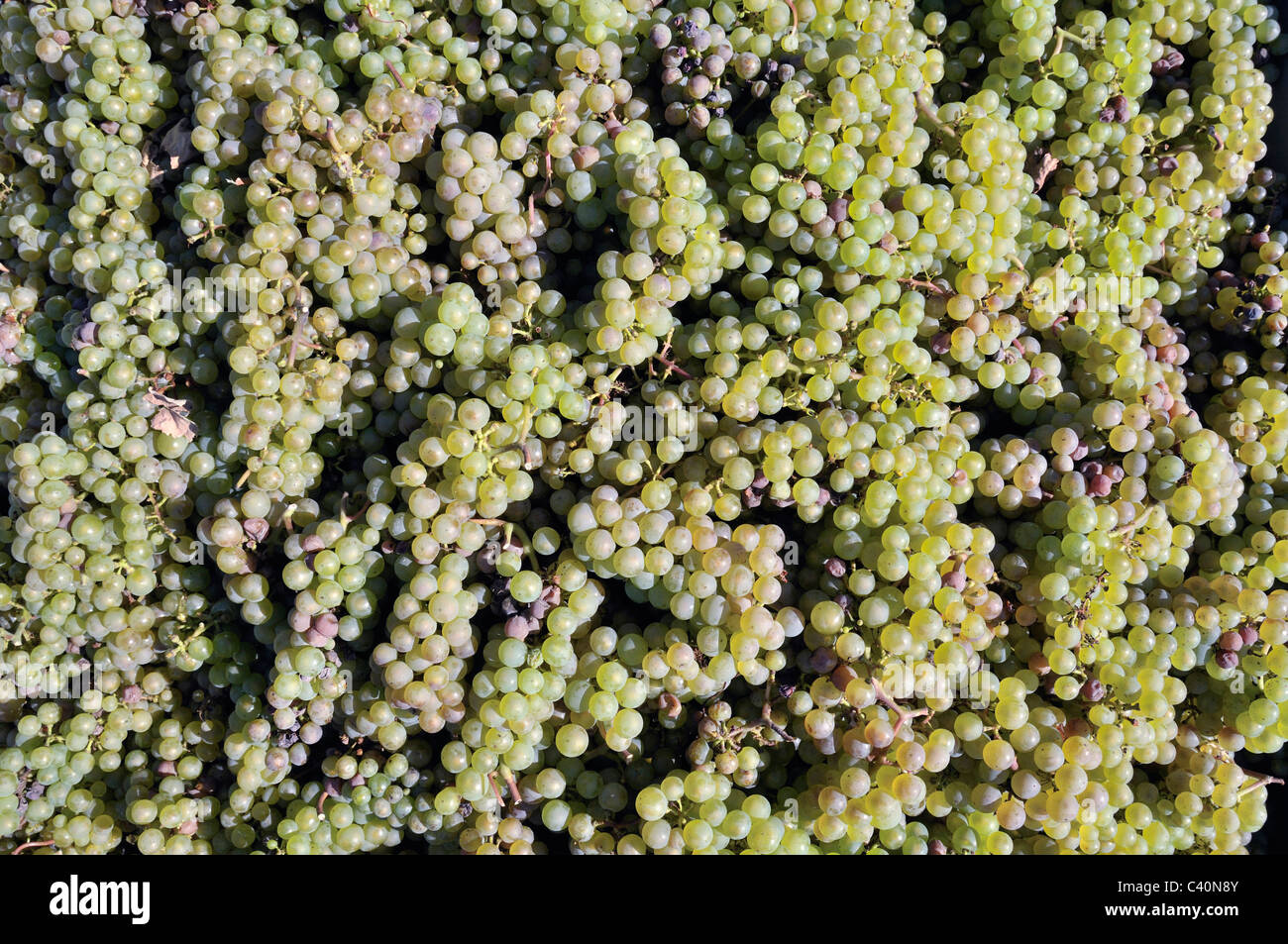 Botany, Germany, Europe, agriculture, close-up, useful plant, fruit, grapes, clusters, vinifera, Vitaceae, Vitis, Stock Photo
