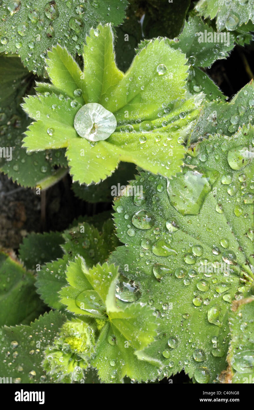 Water beading on Alchemilla mollis leaves after the rain. - Stock Image