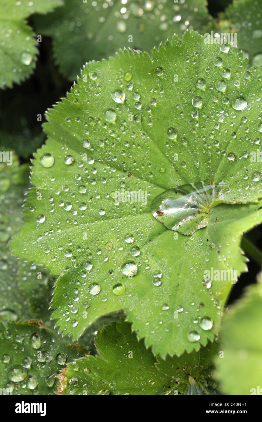 Water beading on Alchemilla mollis leaves after the rain. Stock Photo