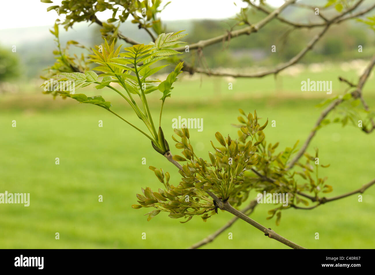 Young Ash twig with keys, fraxinus excelsior - Stock Image