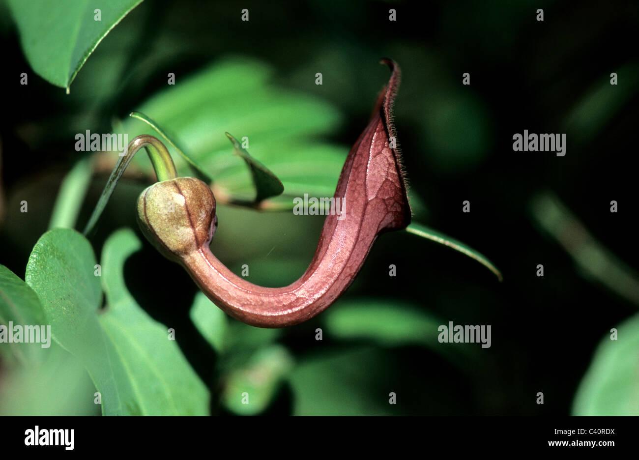Tình yêu cây cỏ ĐV2 - Page 4 Dutchmans-pipe-aristolochia-fontanesii-aristolochiaceae-flower-detail-C40RDX