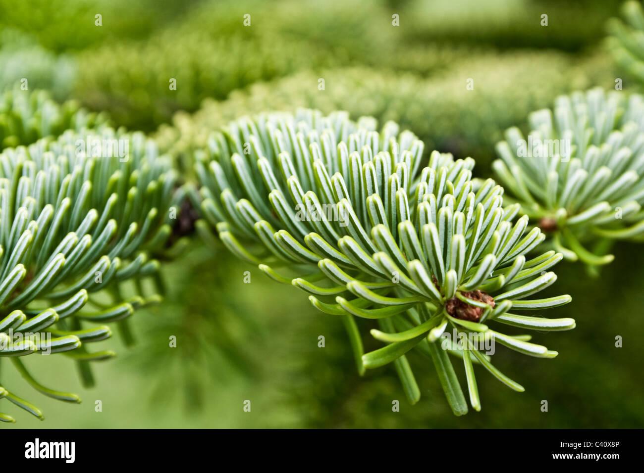 pine tree branch - Stock Image