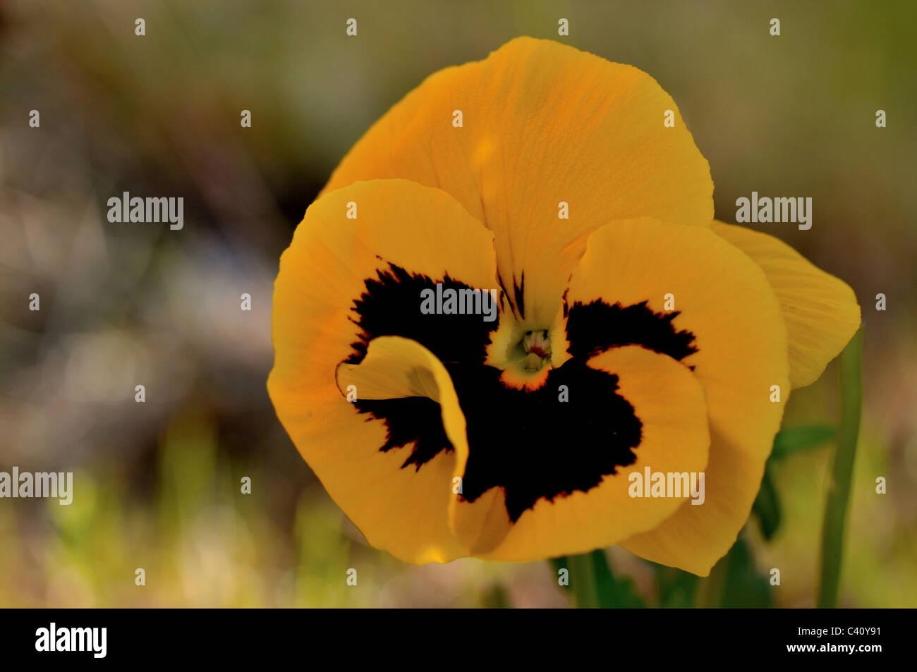 Viola wittrockiana flowers in summer - Stock Image