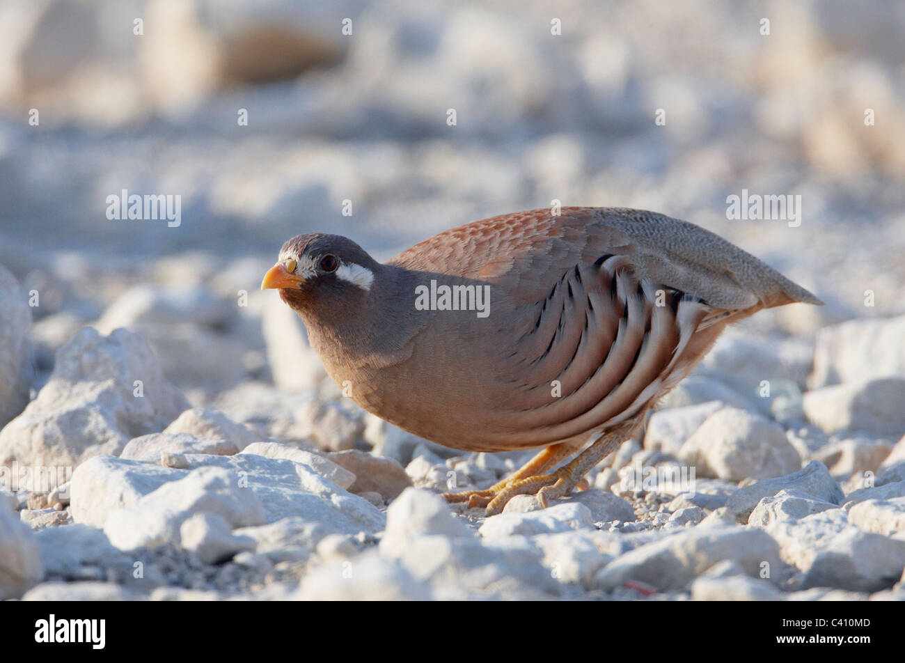 Sand Partridge (Ammoperdix heyi). Male standing on rocky ground. Israel. - Stock Image