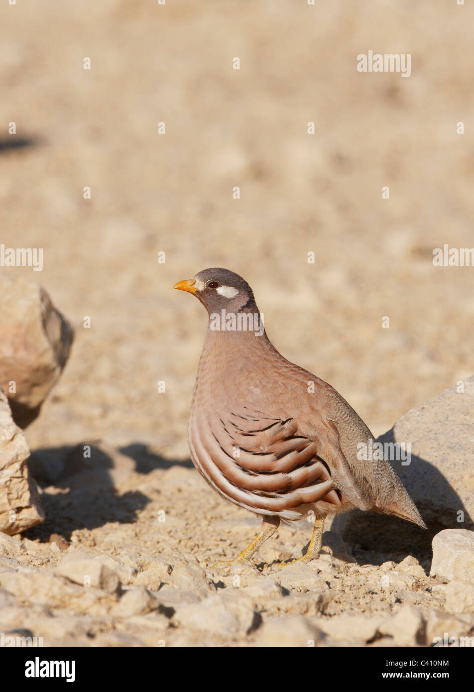 Sand Partridge (Ammoperdix heyi). Male standing on a stone. Israel. Stock Photo