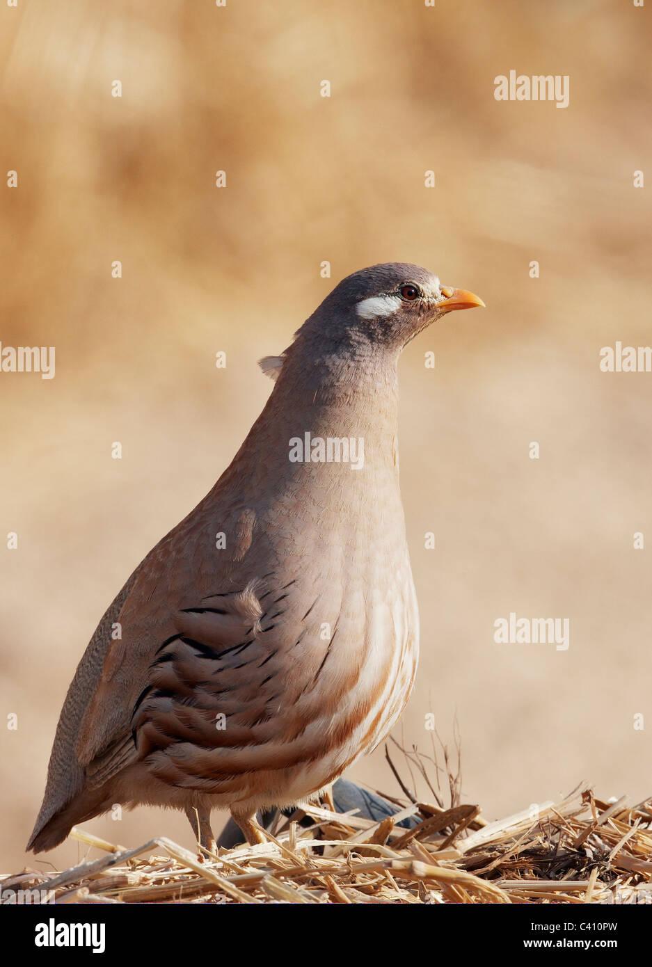 Sand Partridge (Ammoperdix heyi). Male standing on straw. Israel. Stock Photo