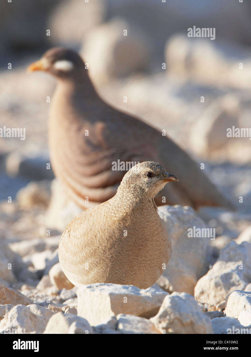 Sand Partridge (Ammoperdix heyi). Pair on rocky ground with female in foreground. Israel. - Stock Image