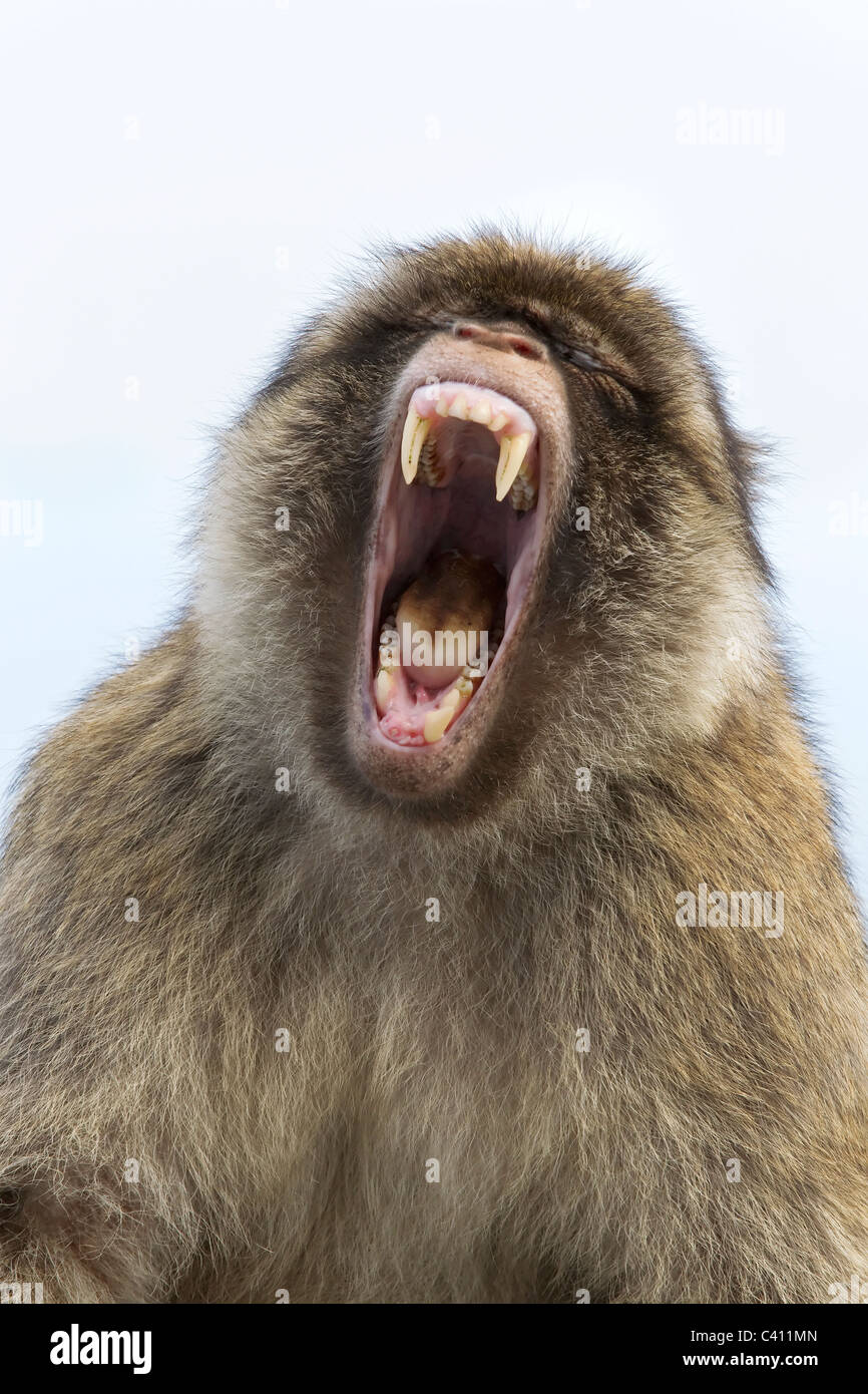 Barbary Macaque male portrait - Aggressive posture grin - Stock Image