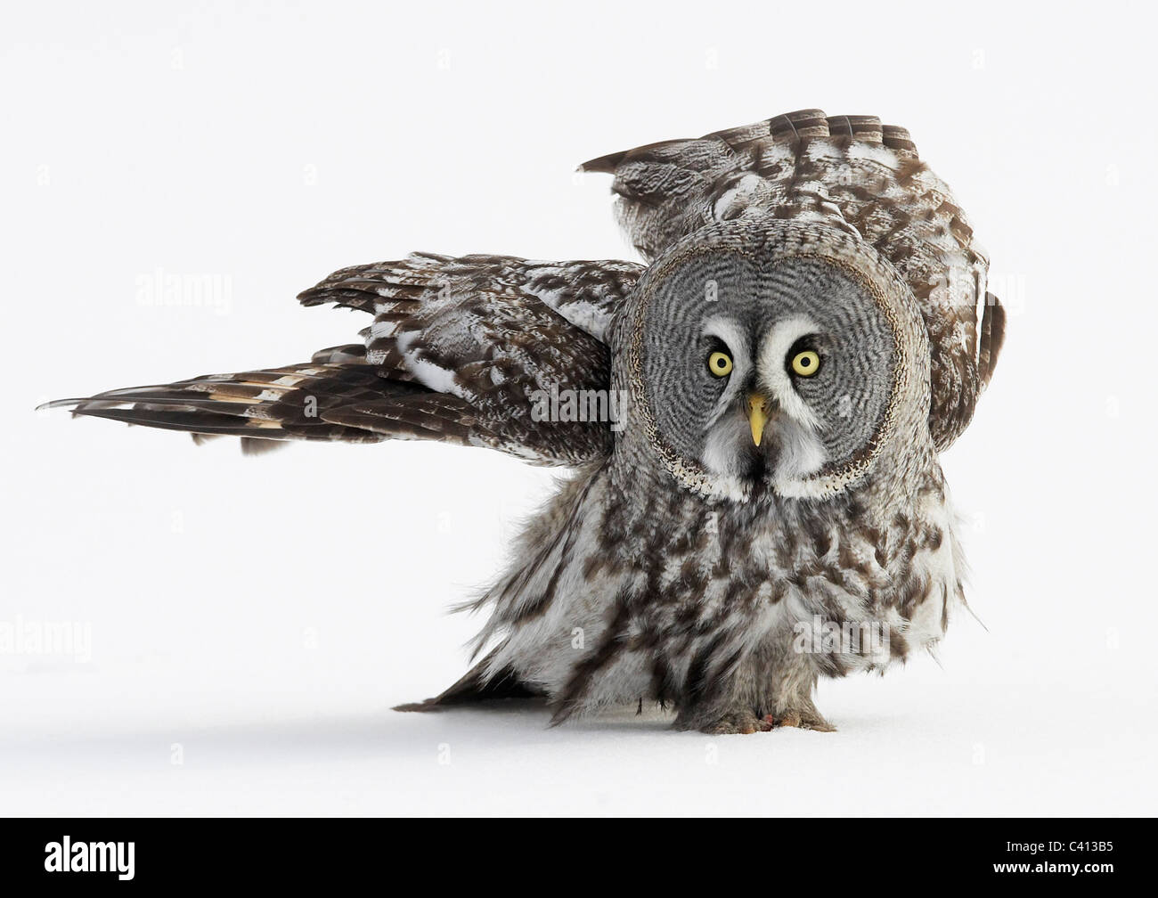 Great Grey Owl (Strix nebulosa) walking on snow. Finland. - Stock Image