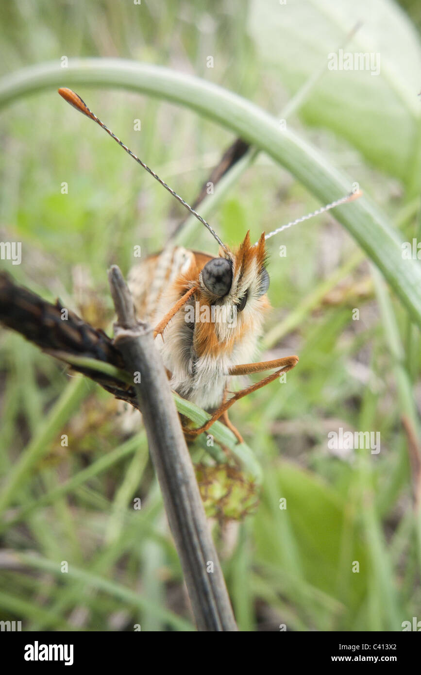 butterfly on blade of grass - Stock Image