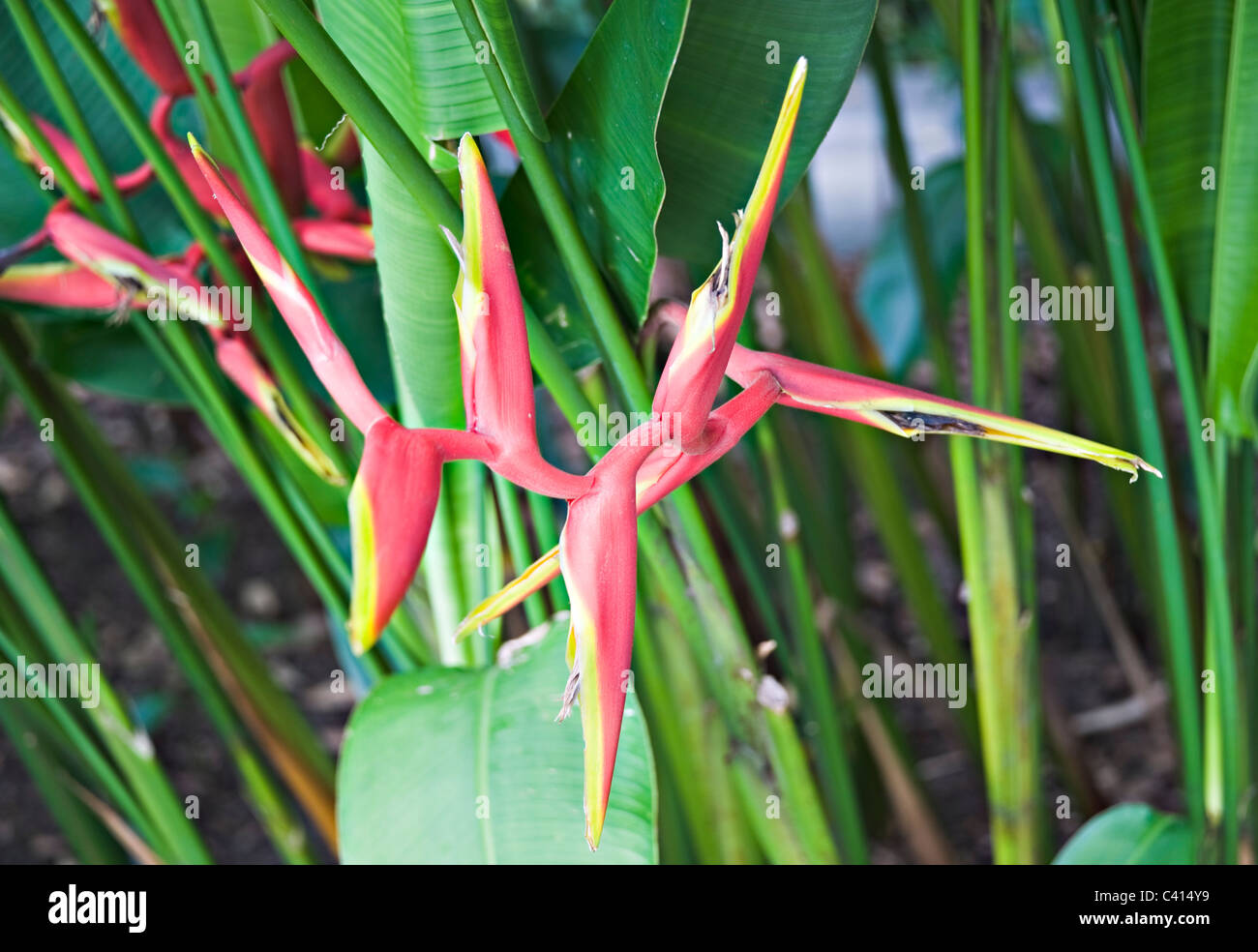 Red and Yellow Heliconia Rauliniana Flower Growing in The Botanic Gardens Singapore Republic of Singapore Asia - Stock Image
