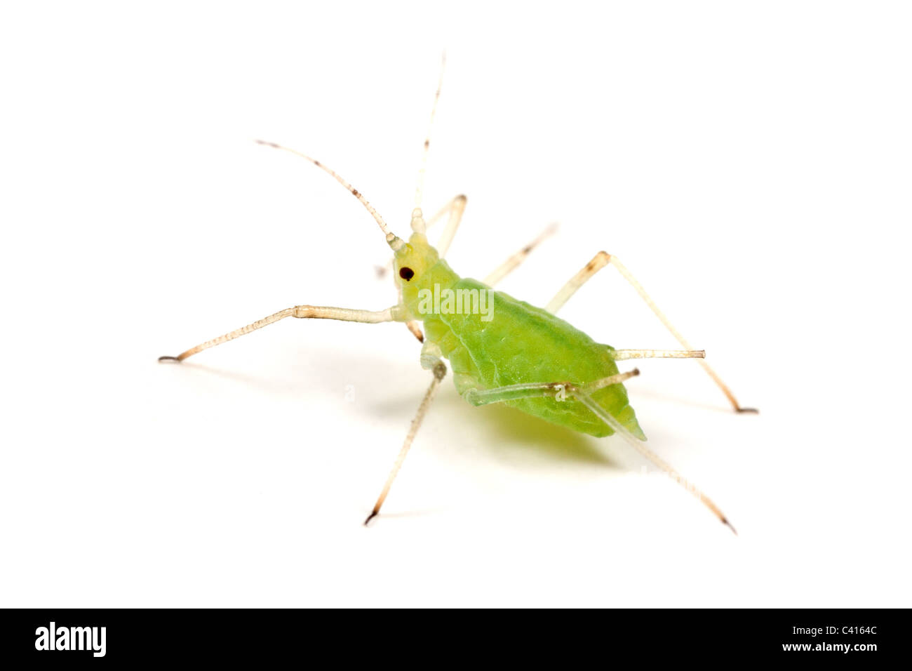Aphid - wingless form - on a white background - Stock Image