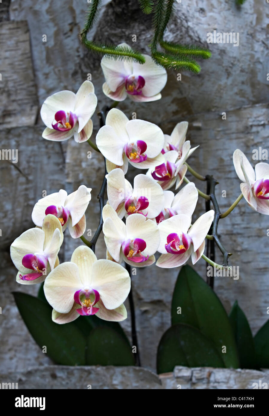 Fuller's Sunset Orchid Flowers in the National Orchid Garden Singapore Republic of Singapore Asia - Stock Image