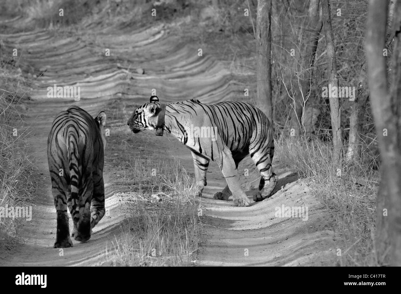 A mating pair of two tigers on a jungle track in Ranthambore national park, India - Stock Image