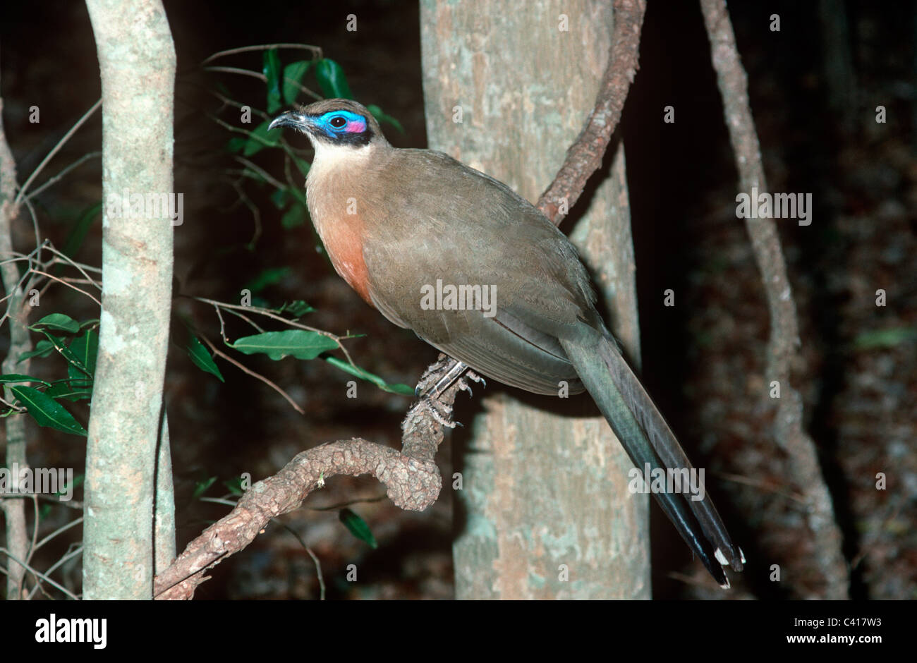 Giant coua (Coua gigas: Cuculidae) in shady gallery forest, Madagascar - Stock Image