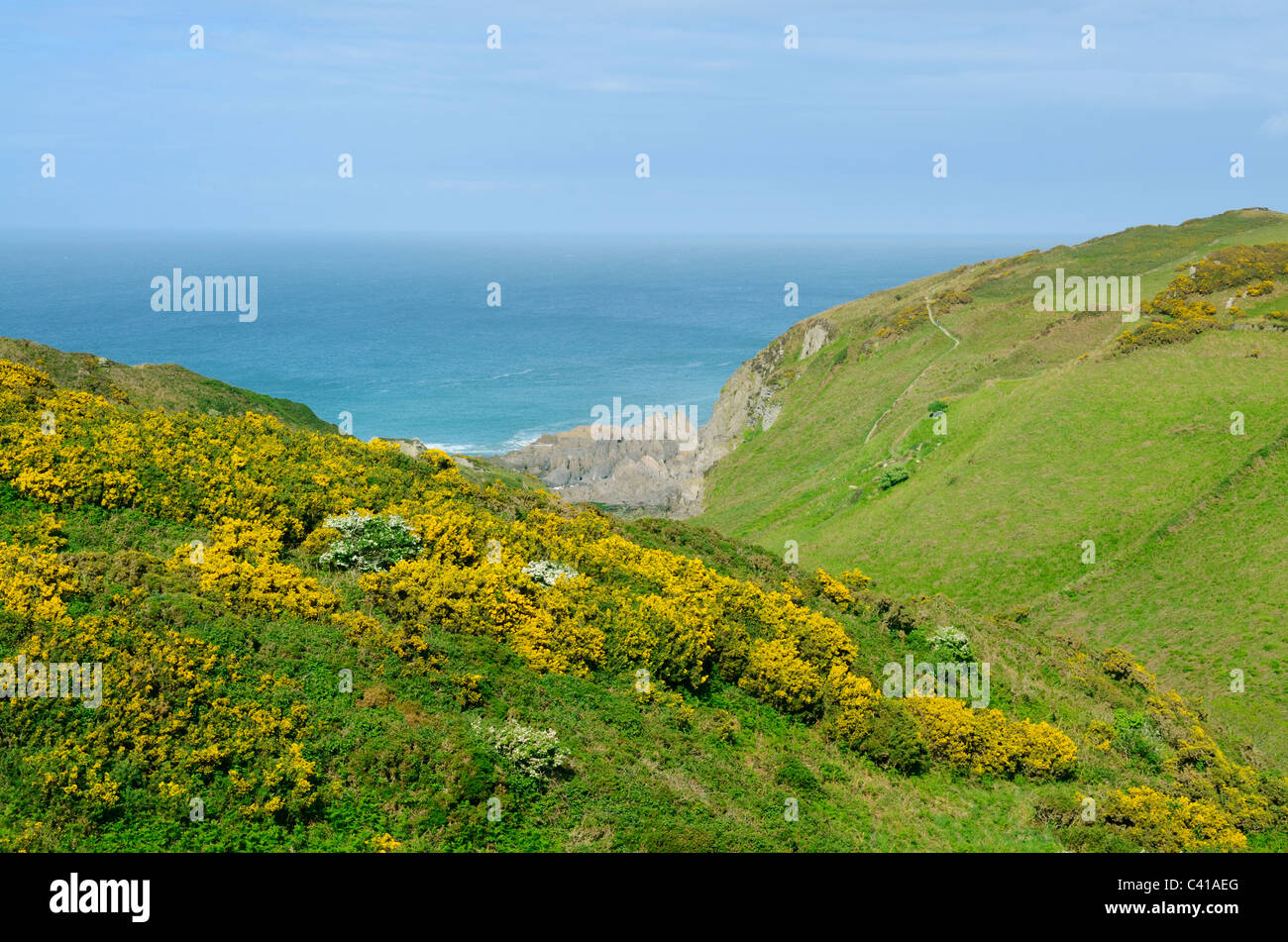 Gorse flowering on the hillside on the North Devon coast near Bull Point. Mortehoe, Devon, England, United Kingdom. - Stock Image