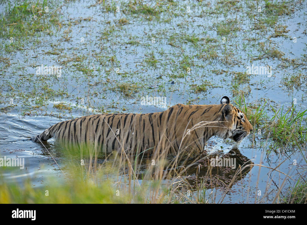 Tiger swimming in the lakes of Ranthambhore national park in north India - Stock Image