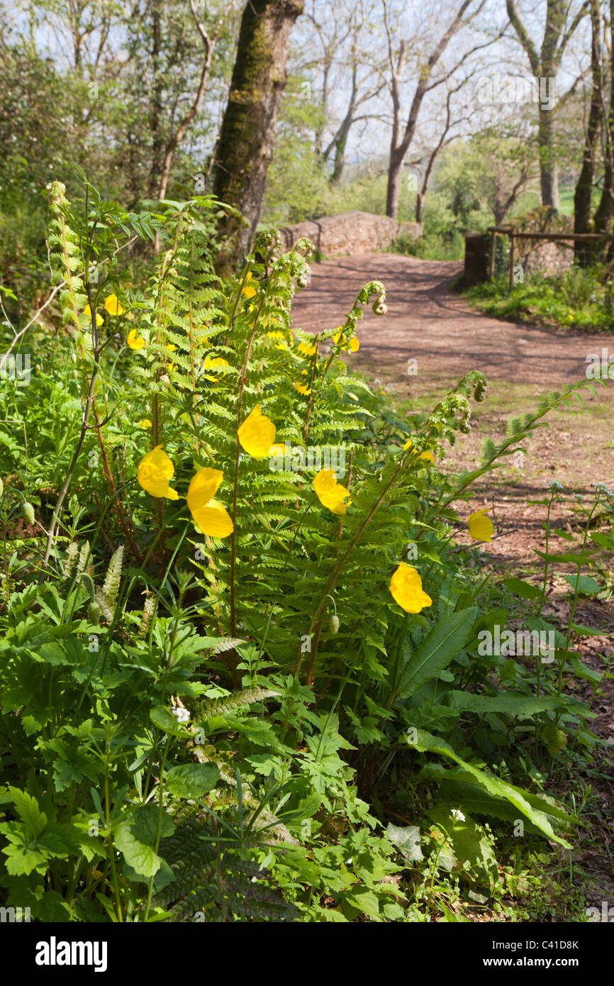 Springtime in Exmoor - yellow poppies and ferns in Horner Woods, Horner, Somerset, England UK Stock Photo