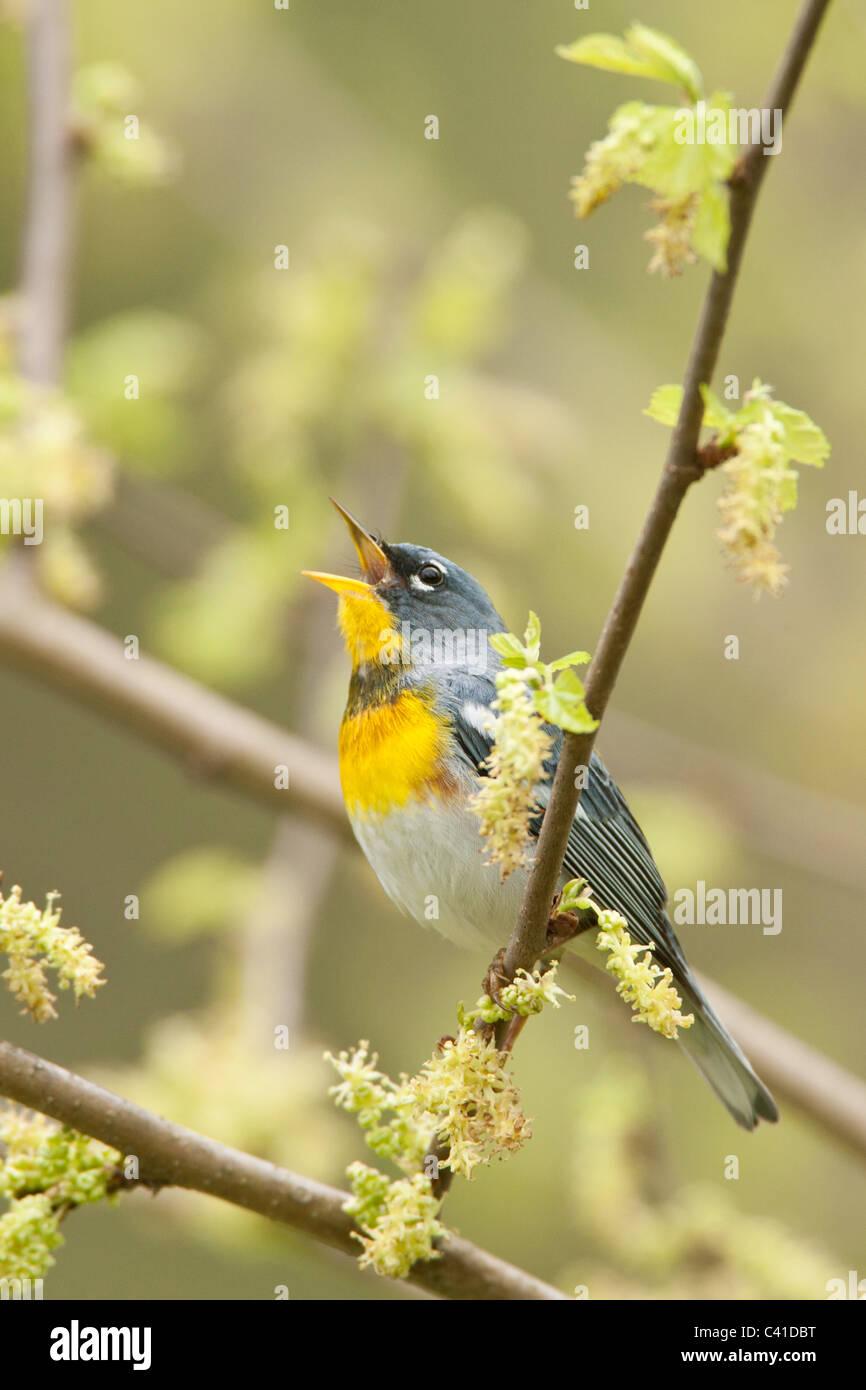Northern Parula Warbler Singing - Vertical - Stock Image