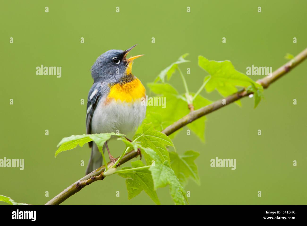 Northern Parula Warbler Singing - Stock Image