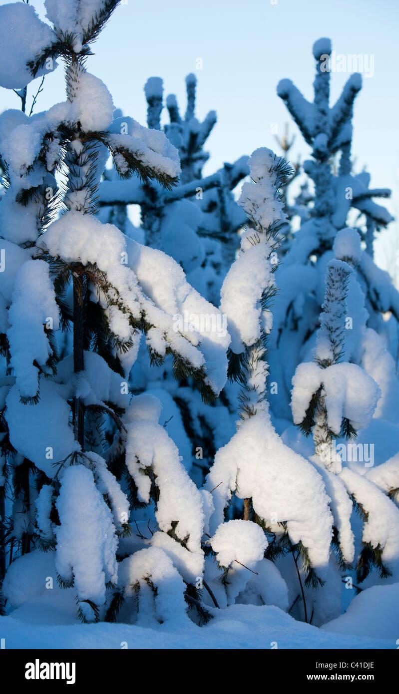 Snowy pine ( pinus sylvestris ) tree saplings at Winter - Stock Image