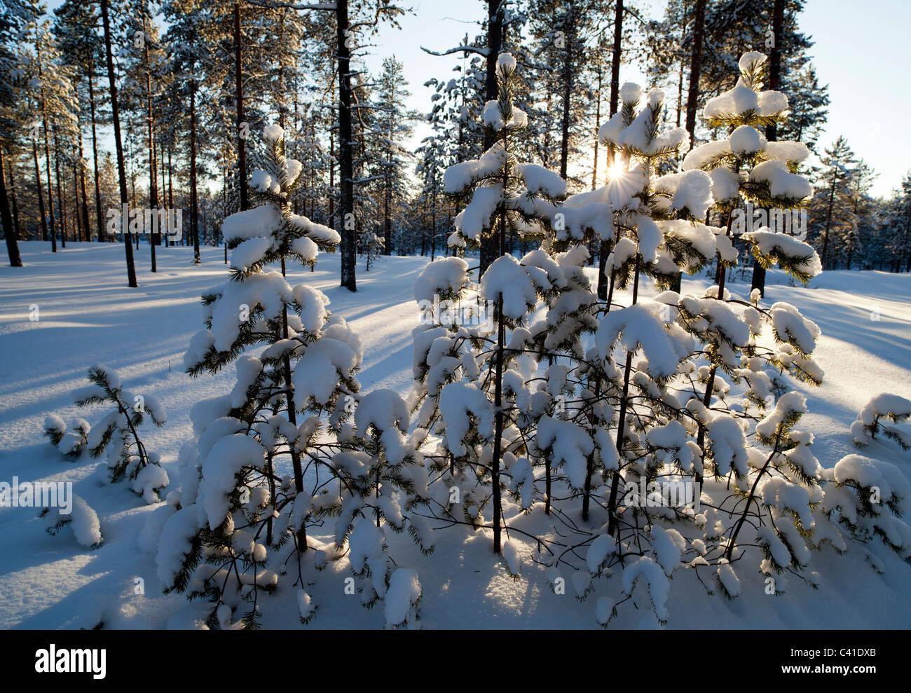 Pine trees and saplings ( pinus sylvestris ) growing on dry heathland , Finland - Stock Image