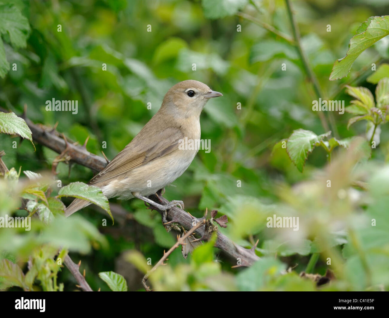 Garden Warbler ( Sylvia borin ) Seeking cover in a bramble bush - Stock Image