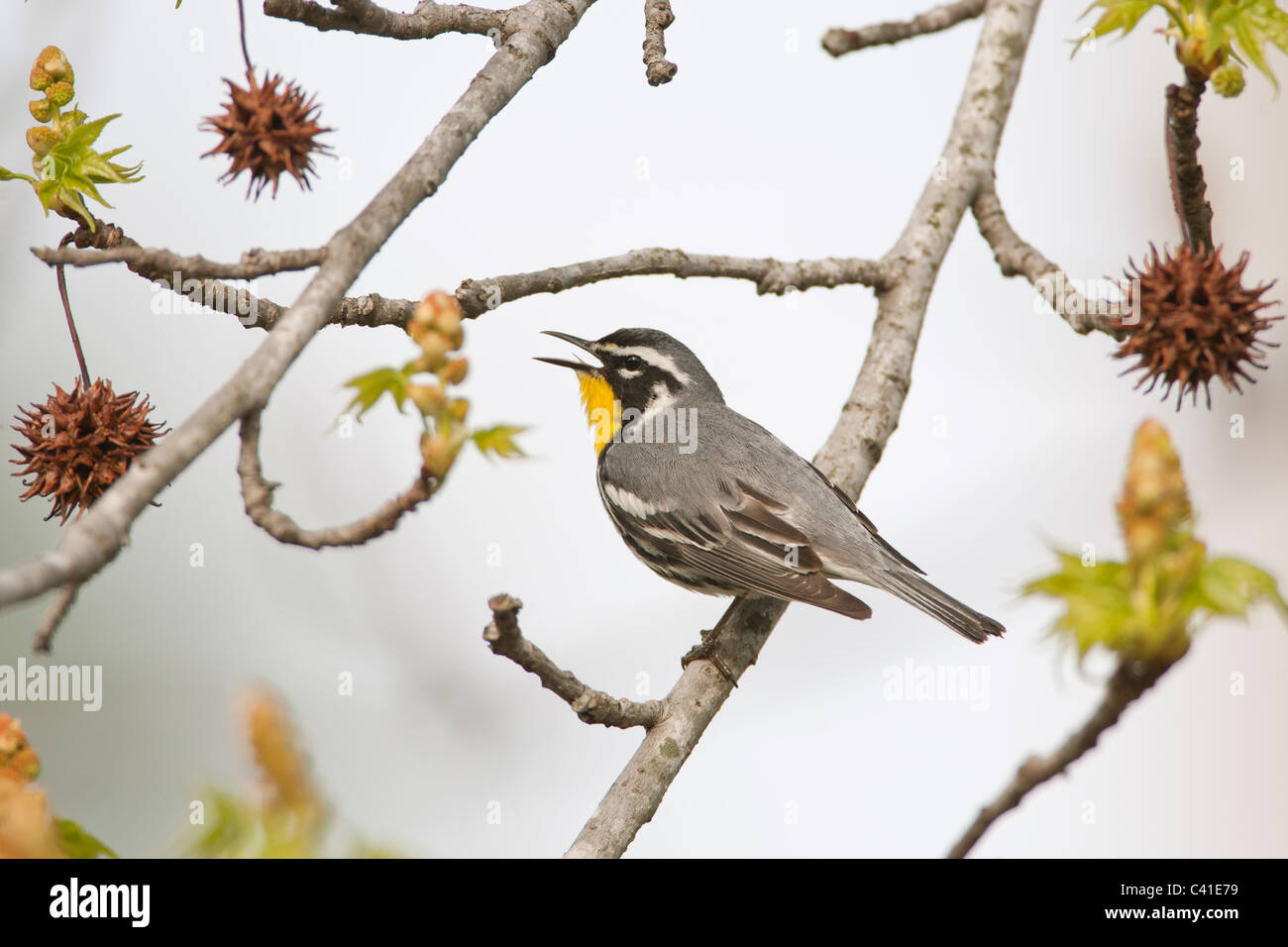 Yellow-throated Warbler singing in Sweetgum Tree - Stock Image