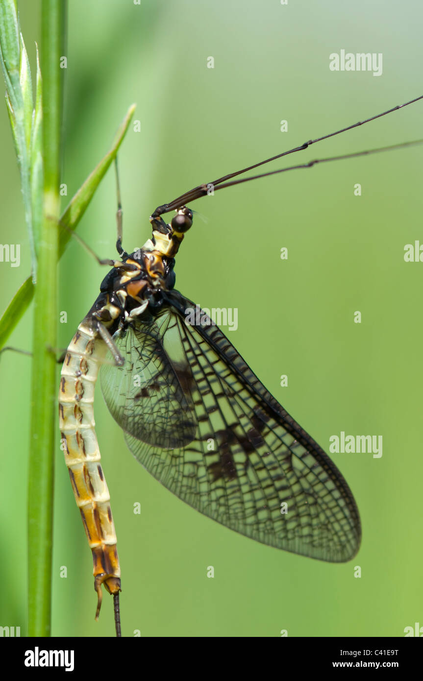 Mayfly (Ephemera danica), Hampshire, UK - Stock Image