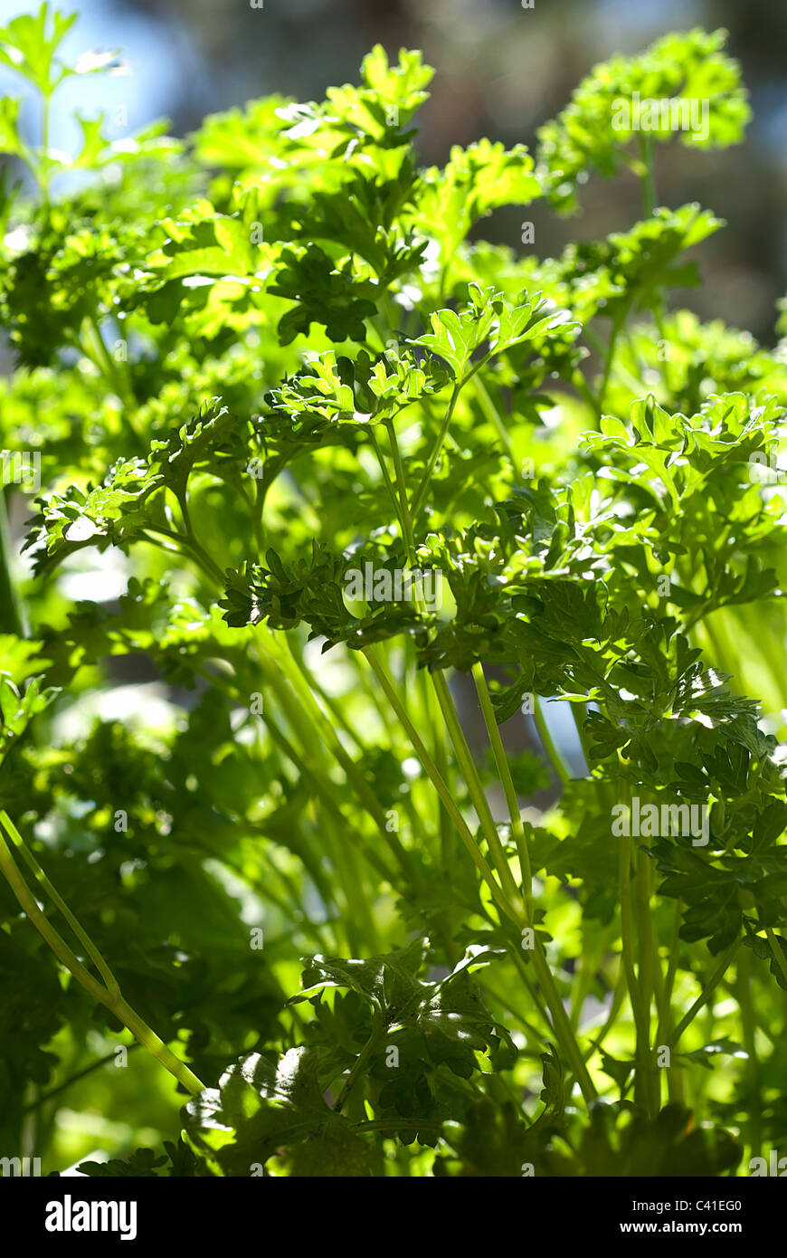 Closeup of a curly garden parsley plant Stock Photo