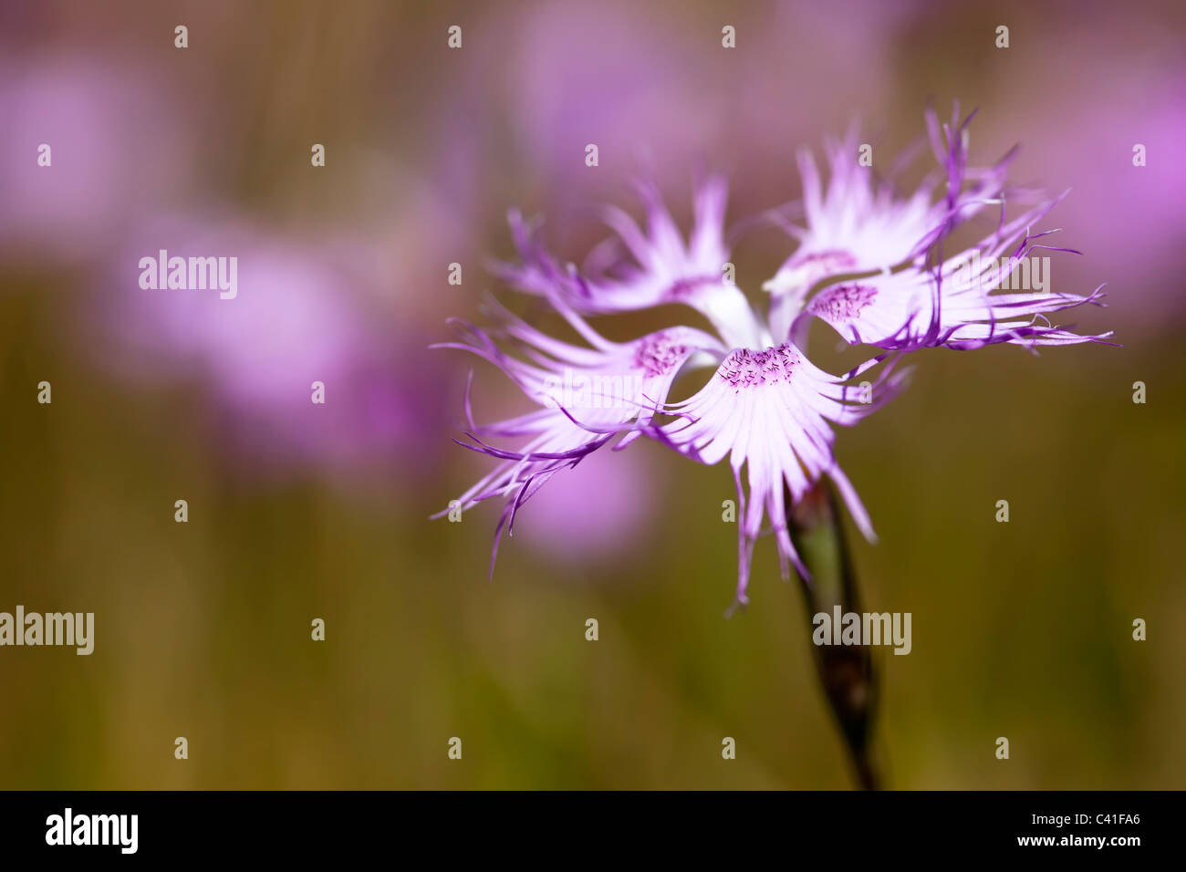 Large Pink Dianthus superbus flowering on Coll d'Ordino mountain Andorra - Stock Image