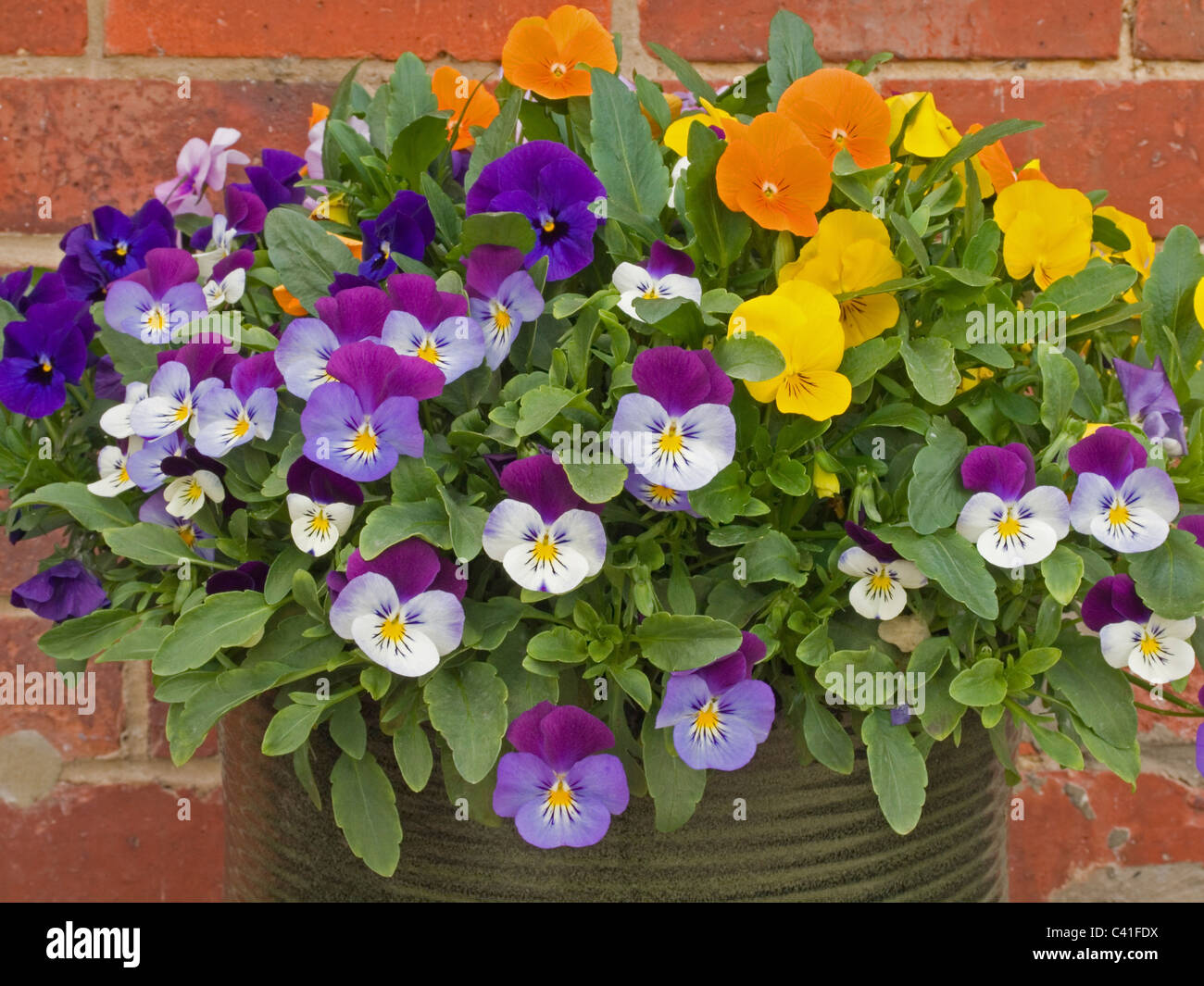viola flower plant - Stock Image