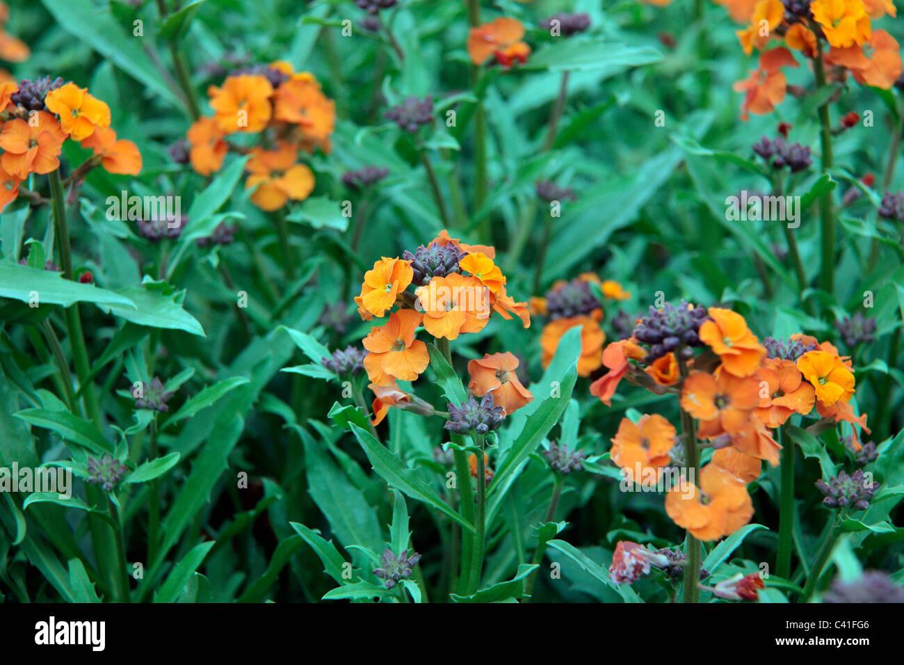 Erysimum 'Apricot Delight' syn. Erysimum 'Apricot Twist' - Wallflower - Stock Image