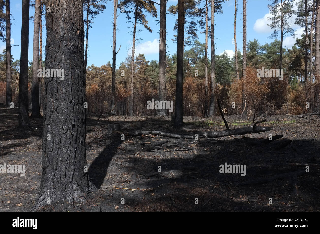 Crowthorne Forest Fire Damage-2 - Stock Image