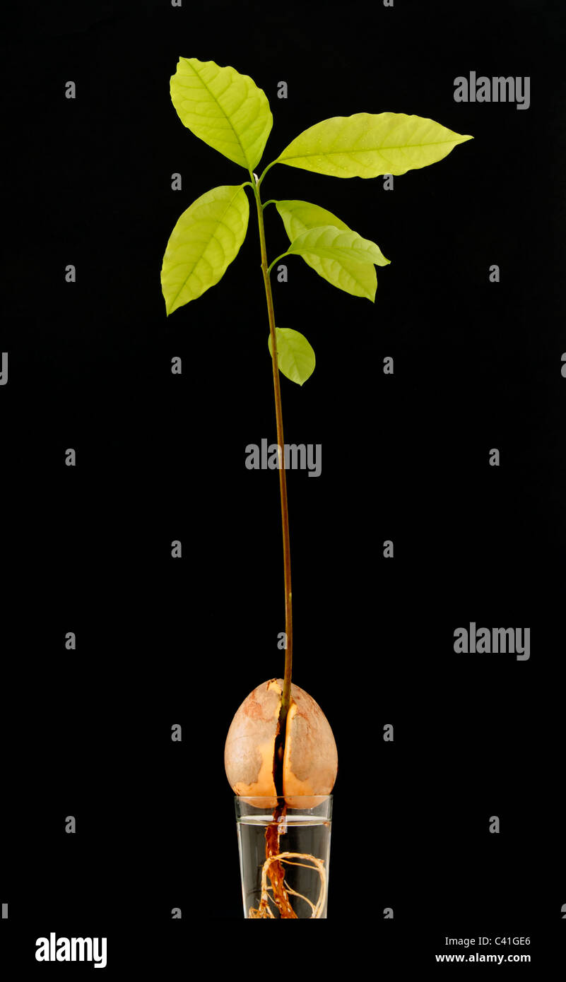 Avocado plant growing in water against black background - Stock Image